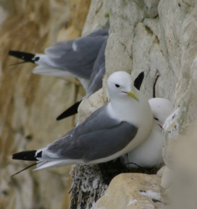 Kittiwake_colony