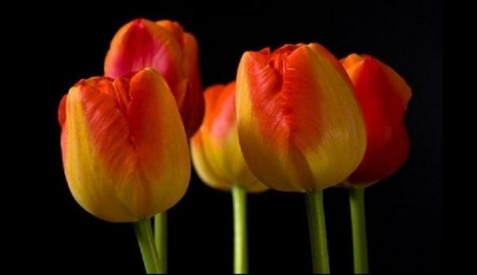 130520-tulips1